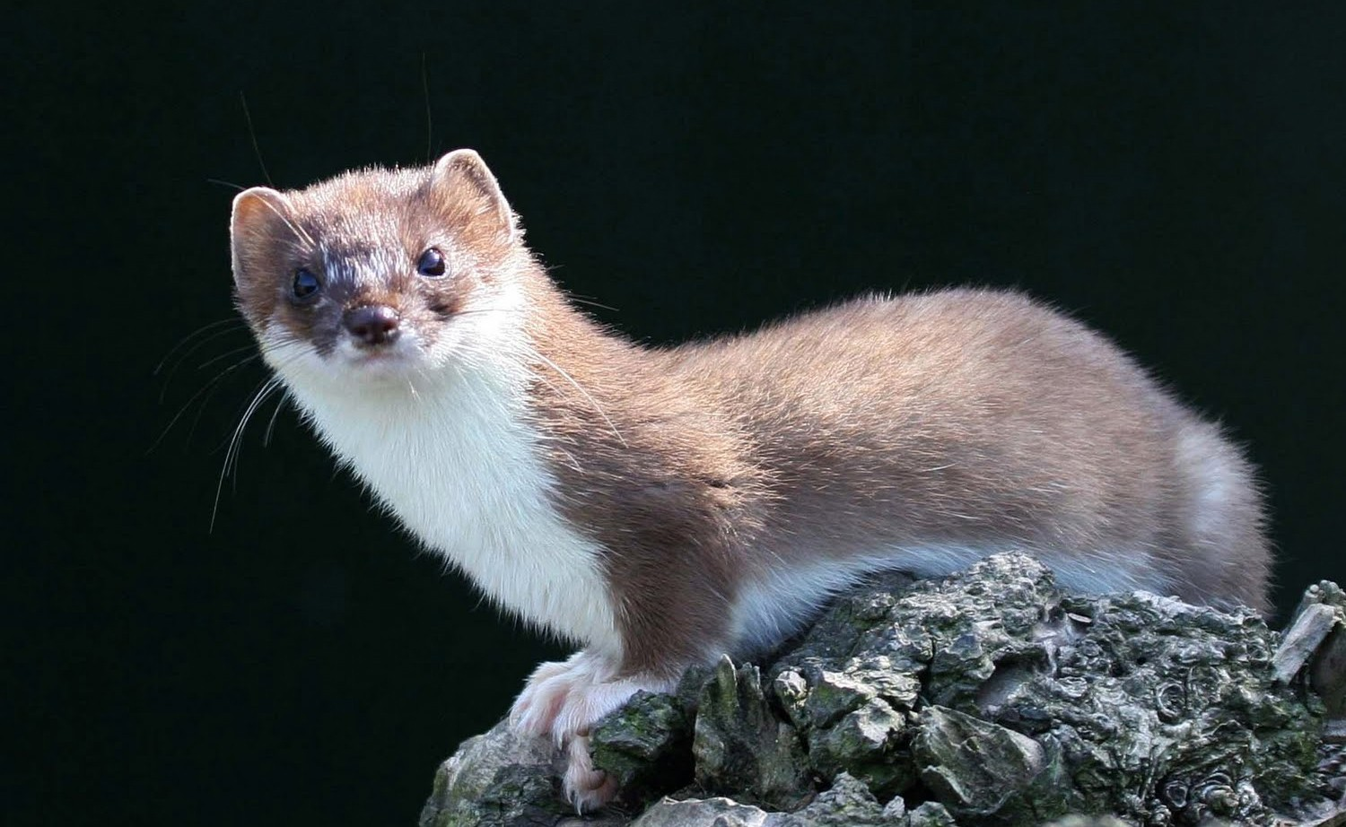 Pictures of the ermine