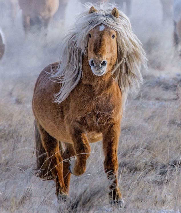 Elle Gelding Horse, Photo courtesy of Mongolian photographer Batzaya Ch.