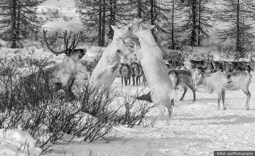 Bulls are fighting each other. Main enemy to reindeer is wolf, and reindeer cannot defend itself against wolf