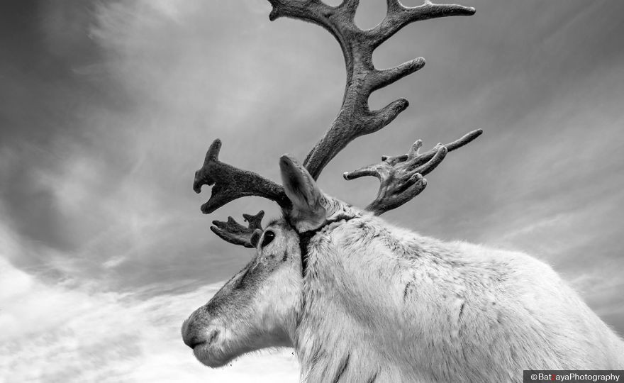 Sacred animal – Reindeer play an important role in the Dukha's shamanistic tradition