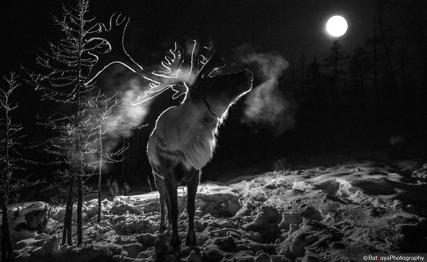 Reindeer in the full moon. Reindeer is tied in the evening and freed during a day, because of protecting wild games