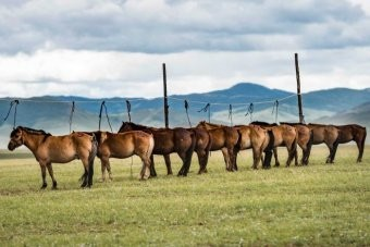 PHOTO: Local horses are only partially broken in, which is an added challenge for riders. (Mongol Derby: Richard Dunwoody)